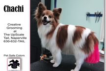Papillon Dogs / The Papillon is a small, friendly, elegant toy dog of fine-boned structure, light, dainty and of lively action; distinguished from other breeds by its beautiful butterfly-like ears.