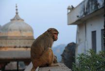 Joipur India / Monkey Temple, Joipur, India