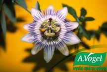 A.Vogel Passiflora / Σε διπλή-τυφλή μελέτη επιβεβαιώθηκε η αποτελεσματικότητα της πασσιφλόρας, όπου 45 σταγόνες εκχυλίσματος του βοτάνου που λαμβάνονταν για τέσσερις εβδομάδες, ήταν αποτελεσματικές όσο 30gr ισχυρού συνθετικού ηρεμιστικού oxazepam (Serax).  Για πολλά χρόνια, οι ερευνητές βοτάνων πίστευαν ότι τα ενεργά συστατικά στην πασσιφλόρα ήταν μια ομάδα αλκαλοειδών. Πρόσφατες μελέτες έχουν δείξει ότι τα φλαβονοειδή είναι τα κύρια συστατικά που ευθύνονται για τις αγχολυτικές - ηρεμιστικές ιδιότητες του βοτάνου.