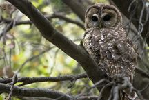 OWL - Mexican Spotted Owl