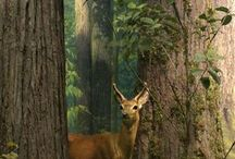 Forest, woodland, deer