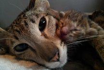 oriental short hair cats / by Brie Britannia