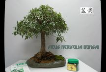 The Wonderful Art of Bonsai / Amazing bonsai trees in amazing bonsai pots. So if you need to send a gift or just let somebody know how your feeling, say it with a wonderful, beautiful bonsai tree that can last forever, handed down from generation to generation. Say it with some special, The Wonder Art of Bonsai...