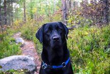 Labrador Retrievers ♡