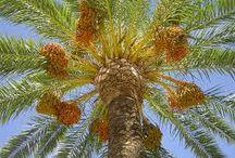 palmeras y datiles