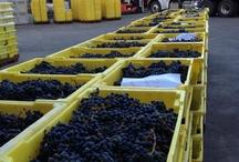 Harvest at Cliff Lede Vineyards