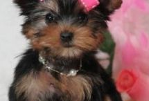 yorkies. Molly / by anne coyle
