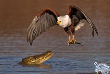 Eagle vs Crocodlile