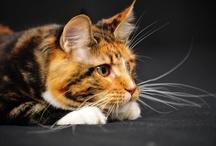 Čičiny - cats