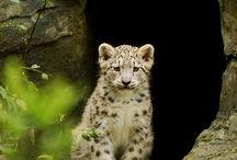 Snow leopard xxxxxxxx