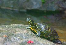 vodní želva
