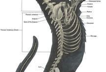skeleton anatomy for drawing