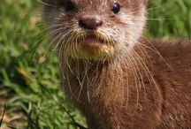 Otter MCL