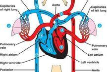 Pathophysiology (Cardiovascular system )