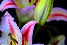 Oriental Lilies / Oriental Lilies