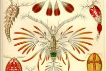 anemoner