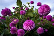 Flowers: Purple & Blue