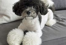 Ooodles of Poodles