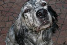 English Setters / #dogs#englishsetters#animals#cuteness