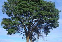 Árvores Brasileira