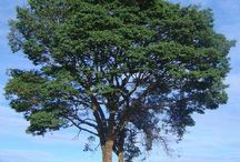 lindas árvores