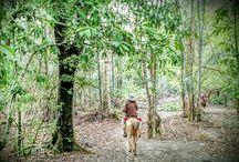 Le Marajoara / Le Marajoara est une race issue de chevaux portugais, le Lusitanien, qui a été amené sur l'île de Marajo et qui ensuite d'est petit à petit adapté à la chaleur de son lieu d'élevage et à son environnement marécageux. Lorsqu'il a été croisé avec un poney Shetland cela a donné naissance à une nouvelle race qui est le Puruca.