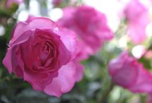 Roses spéciales