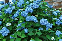 HYDRANGEA / These are not your grandmother's hydrangeas.