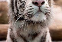 tygříci