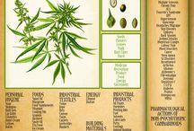 Cannabis...