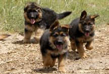Who run the world? Cachorros