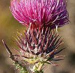 Plantas endémicas de Portugal