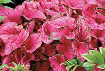 Caladium,Green Indoor and Outdoor Plants / Caladium, Indoor and Outdoor Plants, Leafy Green Plants