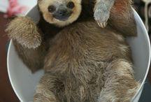 Sloths! / Have you met sloth rescuer Monique Pool?