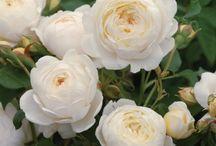 Emily's Rose Garden / My Dream Rose Garden
