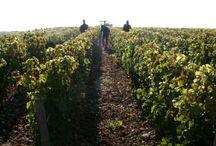 Wine harvest 2015 / Vendanges, Wine harvest, wijnoogst 2015