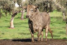 Toiros | Toros | Bulls  / The most beautifull animal on earth