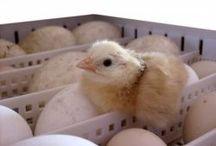 hatching chickadees?