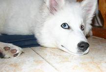 собаки Якутская лайка / питомник собак Якутская лайка Dog kennel Yakutian Laika elena.aranai@mail.ru