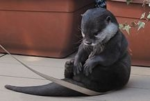 Oh look an Otter