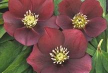 Red Perennials