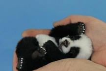 Pandaunger