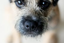 Brookside Border Terrier!
