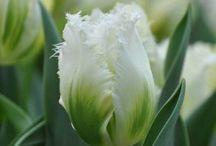 tulipes / bulbes de tulipes originaux ou pas