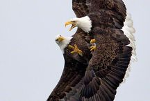 Eagles/Raptors