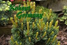 Pinus aristata-Bozontos fenyő