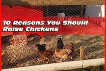 Raising Chickens ~ WHAT?
