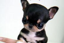 Hondjes puppy