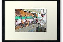 Pastorizia / Allevamentii, pastorizia,mucche, bufale, pecore, capre, stalle