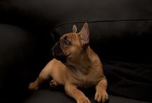 Milu, vores Franske Bulldog / Billeder af vores Franske Bulldog French Bulldog